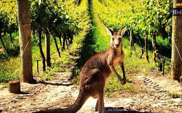 AUSCHAM celebra el Mes Australiano del Vino